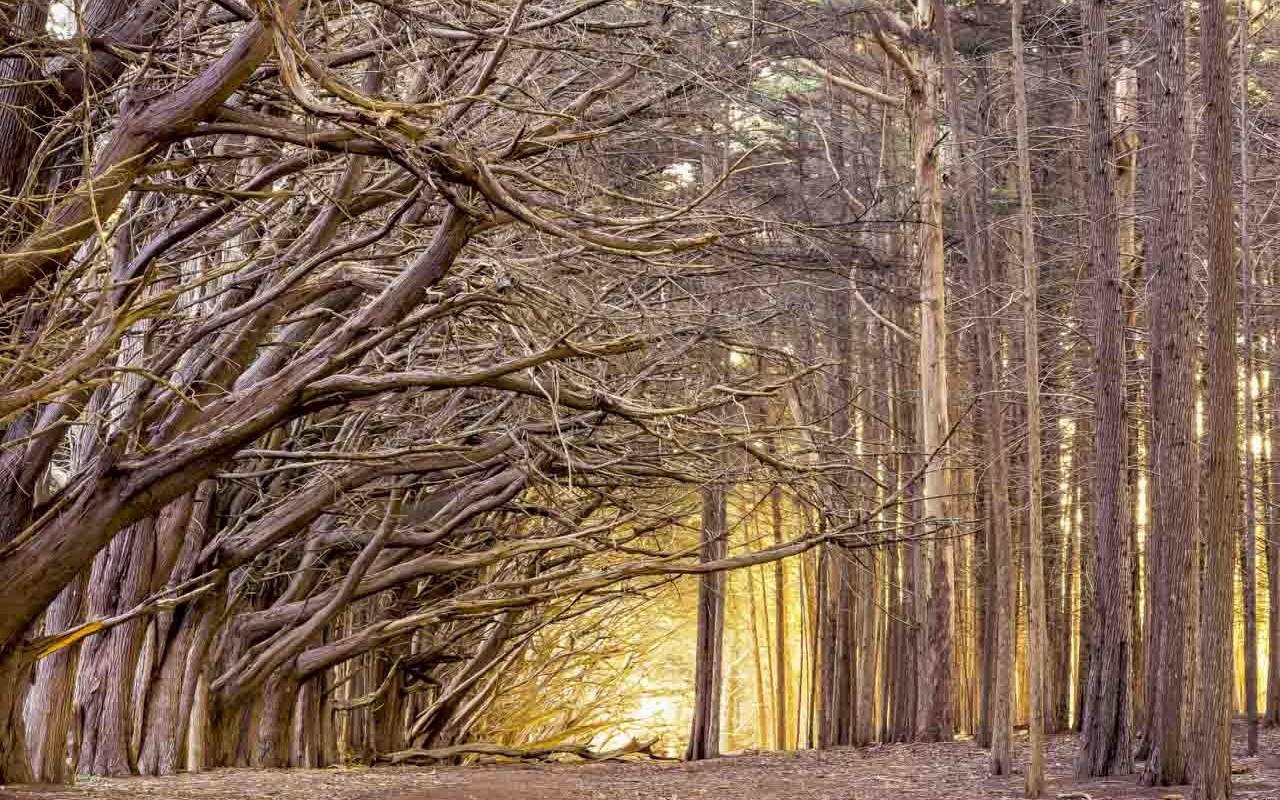 Moss Beach Trees